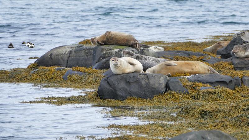 Circuit guidé en Islande, observation des phoques dans les westfjords