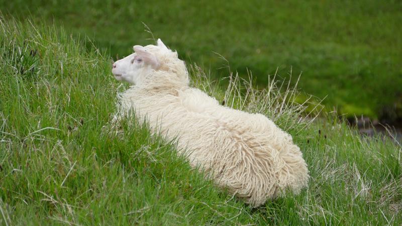 Circuit guidé Islande au printemps, mouton dans le Sud de l'Islande