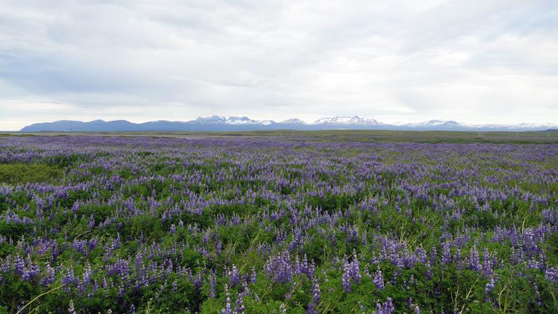 Circuit guidé Islande au printemps, champ fleuri de lupin dans le Sud