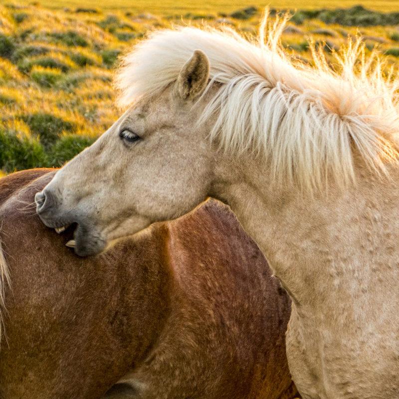 randonnee--a-cheval-islandais
